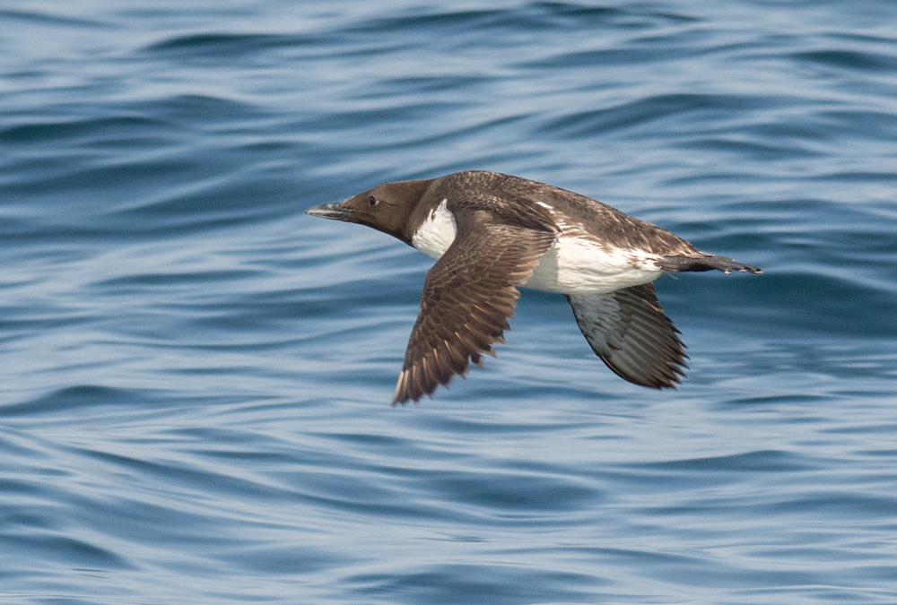 Common Murre (Uria aalge)  EQ: D7200 300mm f/2.8  Setting: 300mm (450mm @35mm), 1/1250s, f/7.1, ISO560