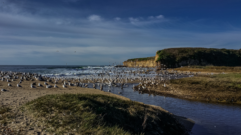 Photo of the Week 31: Gulls on Baldwin Creek Beach EQ: Note4    Taken: 1-21-2016 at 9:36a Settings: 4.8mm, 1/1500s, f/2.2, ISO40         Conditions: Sunny