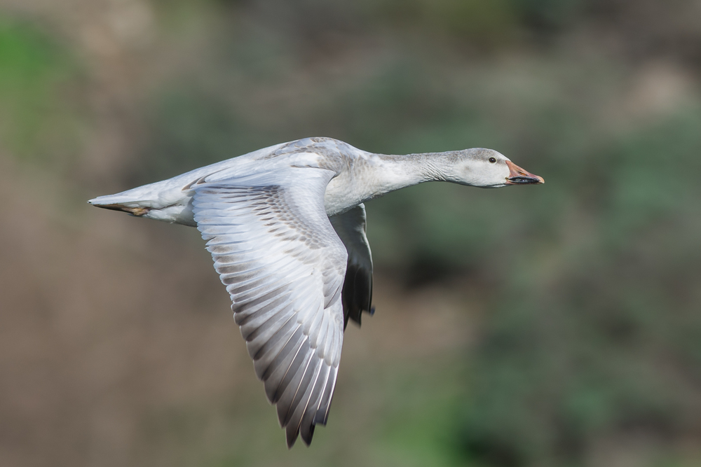 Snow Goose (Chen caerulescens) EQ: Nikon D7200, 300mm f/2.8    Taken: 1-12-2016 at 11:59a Settings: 450mm (35mm eqv.), 1/800s, f/4.0, ISO100, +1/3EV         Conditions: Sunny