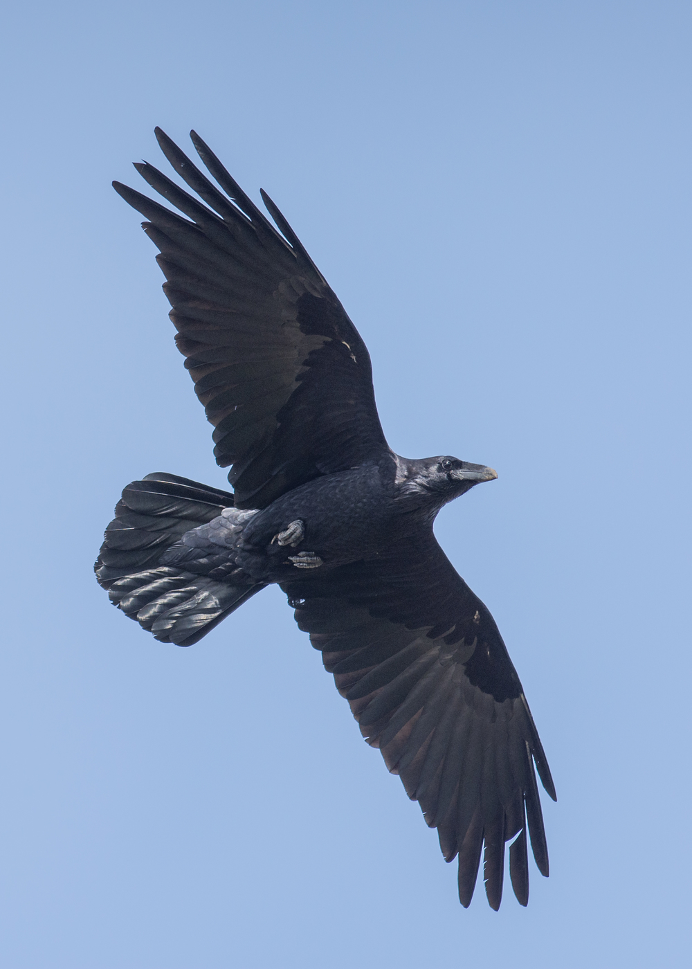 Common Raven (Corvus corax) Settings: 450mm (35mm eqv.), 1/1000s, f/4.5, ISO110, +1/3EV, taken 1-12-16 12:54