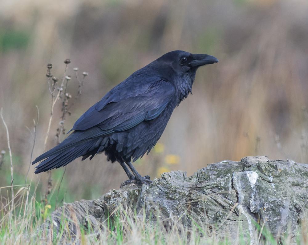 Common Raven (Corvus corax)   Settings: 450mm (35mm eqv.), 1/1250s, f/4.5, ISO640, +1/3EV, taken 1-12-16 13:55
