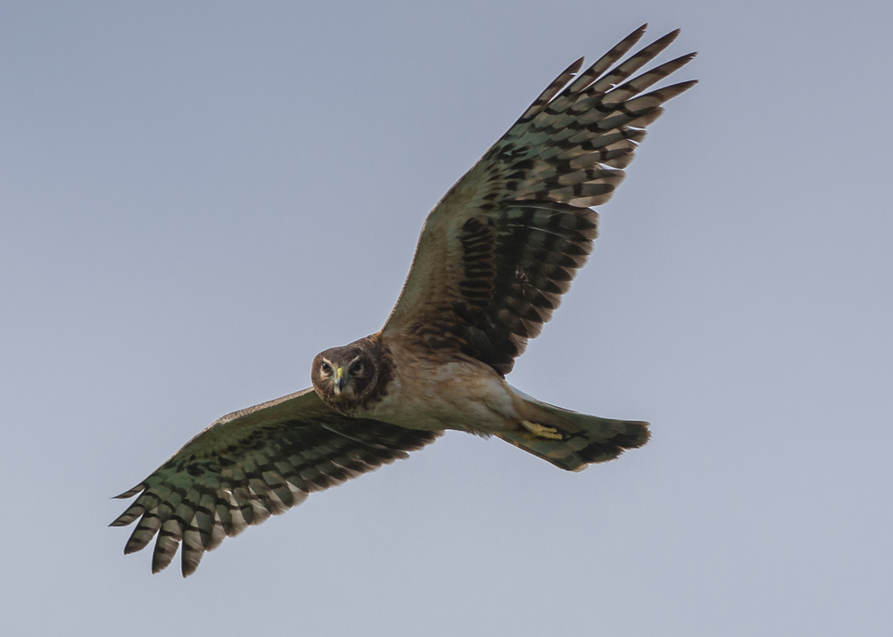 Northern Harrier (Circus cyaneus) Settings: 450mm (35mm eqv.), 1/1000s, f/4.5, ISO100, +1/3EV, taken 1-12-16 13:31