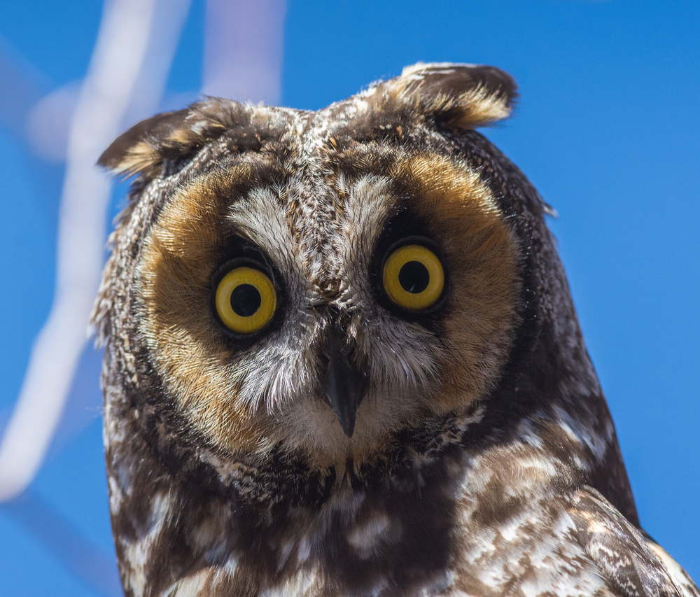 Long-eared Owl (Asio otus) taken a Washoe SP (NV)
