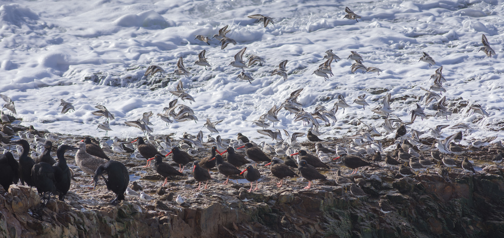 Brandt's Cormorants, Oystercatchers, Surfbird, Turnstone, and Sanderlings fight the high surf - Baldwin Creek, SCZ (CA)