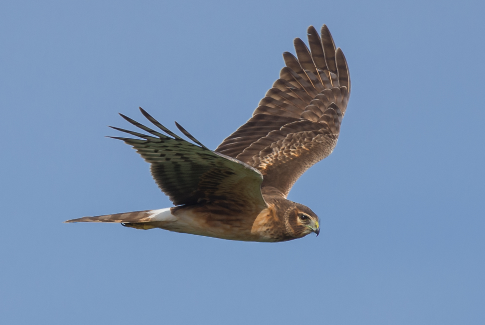 Northern Harrier (Circus cyaneus) Settings: 450mm (35mm eqv.), 1/1000s, f/4.5, ISO100, +1/3EV, taken 1-12-16 13:13