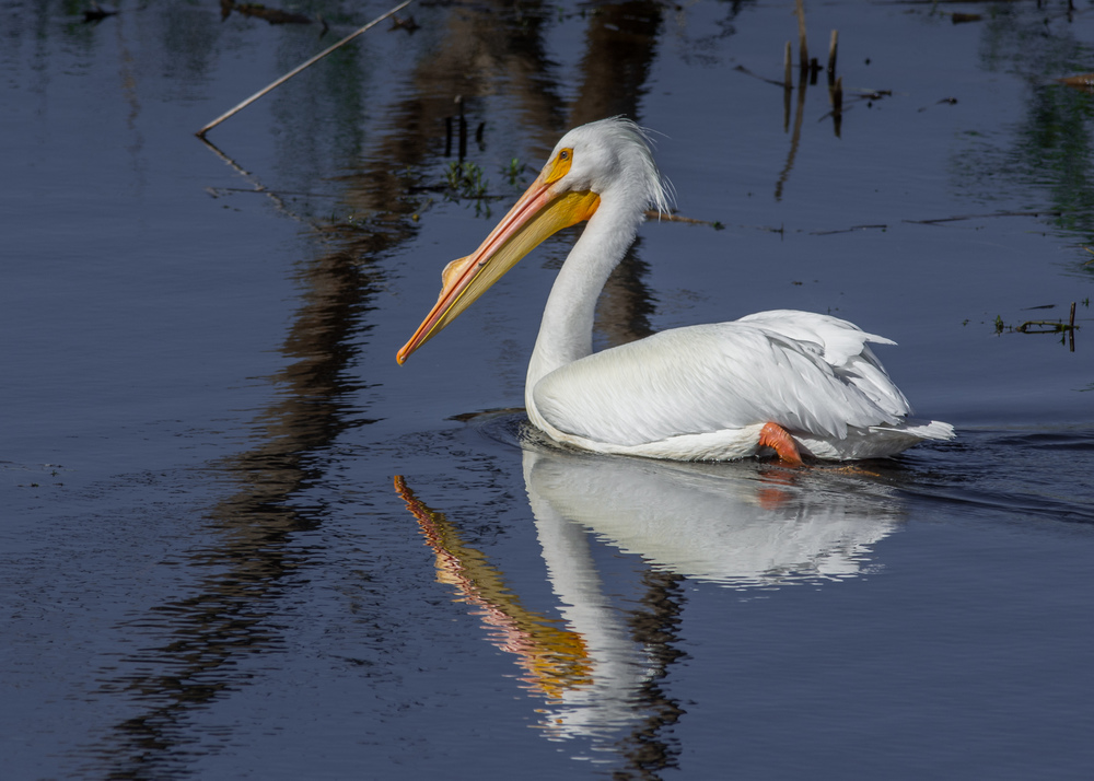 American White Pelican (Pelecanus erythrorhynchos) at Watsonville Slough EQ: D7200, 300mm f/2.8 with 1.4 TC    Taken: 3-2-2016 at 10:53 Settings: 6300mm (35mm eqiv), 1/1250s, f/6.3, ISO110, +1/3EV     Conditions: Sunny