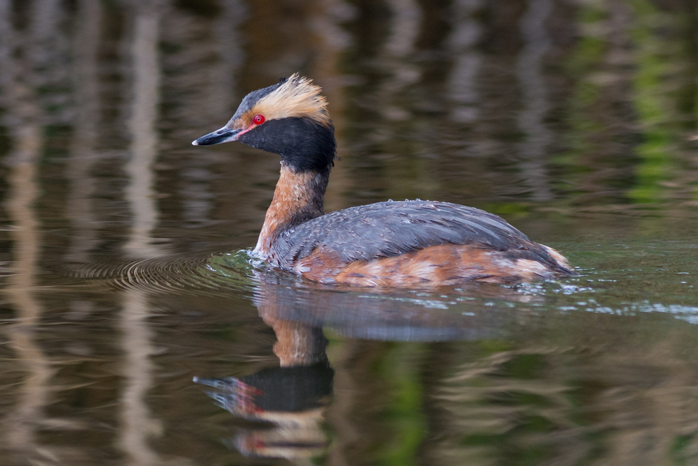 Photo of the Week 33: Horned Grebe (Podiceps auritus) at Paradise Park, WAS (NV)  EQ: D7200, 300mm f/2.8   Taken: 4-28-2016 at 9:16   Settings: 450mm (35mm eqiv), 1/1000s, f/4.0, ISO320, +1/3EV         Conditions: Sunny