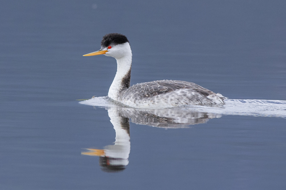 Clark's Grebe (Aechmophorus clarkii) at Little Washoe Lake, WAS (NV)  EQ: D7200, 300mm f/2.8    Taken: 4-27-2016 at 10:51   Settings: 450mm (35mm eqiv), 1/1250s, f/4.5, ISO320, +1/3EV     Conditions: Sunny