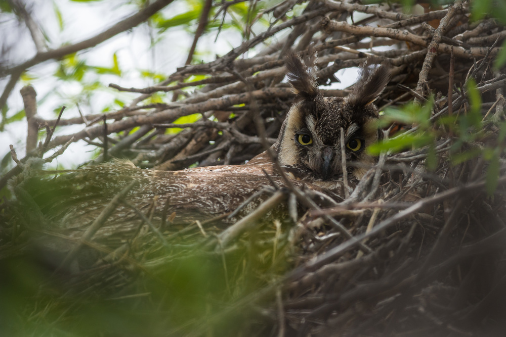 Long-eared Owl (Asio otus) at Washoe SP, WAS (NV)  EQ: D7200, 300mm f/2.8    Taken: 5-4-2016 at 11:09   Settings: 450mm (35mm eqiv), 1/640s, f/5.6, ISO320, +1/3EV     Conditions: Sunny