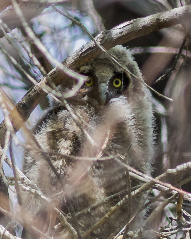 Long-eared Owl, juvenile (Asio otus) at Washoe SP, WAS (NV)  EQ: D7200, 300mm f/2.8    Taken: 5-12-2016 at 11:55   Settings: 450mm (35mm eqiv), 1/640s, f/3.5, ISO320, +1/3EV     Conditions: Sunny