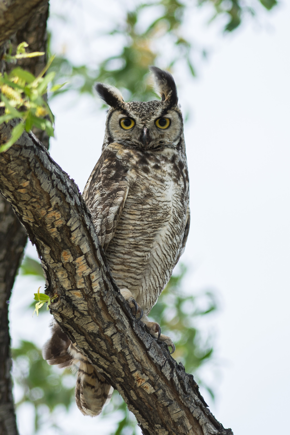 Great Horned Owl (Bubo virginianus) at Pyramid Lake - Willows, WAS (NV)  EQ: D7200, 300mm f/2.8    Taken: 5-19-2016 at 11:03   Settings: 450mm (35mm eqiv), 1/640s, f/3.2, ISO100, +1/3EV     Conditions: Sunny and Windy