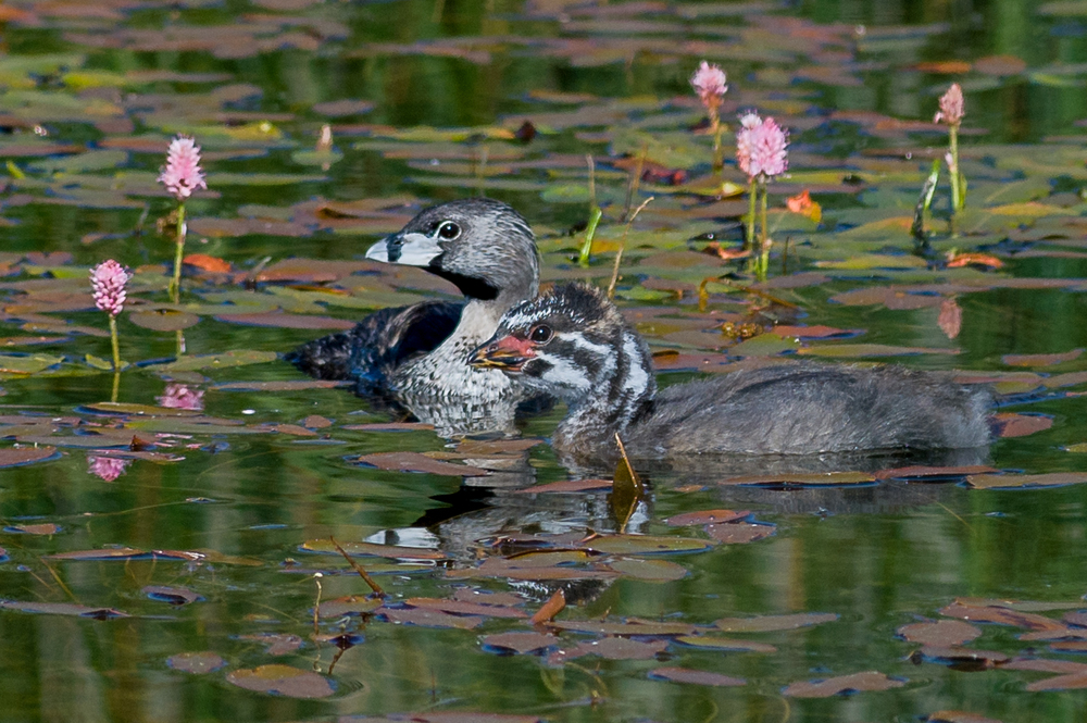 Pied-billed Grebe (Podilymbus podiceps)  Ruby Lake NWR, WHI (NV)