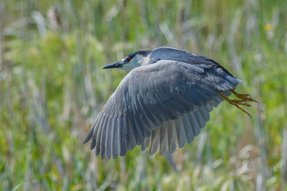 Black-crowned Night Heron (Nycticorax nycticorax)  Ruby Lake NWR, WHI (NV)