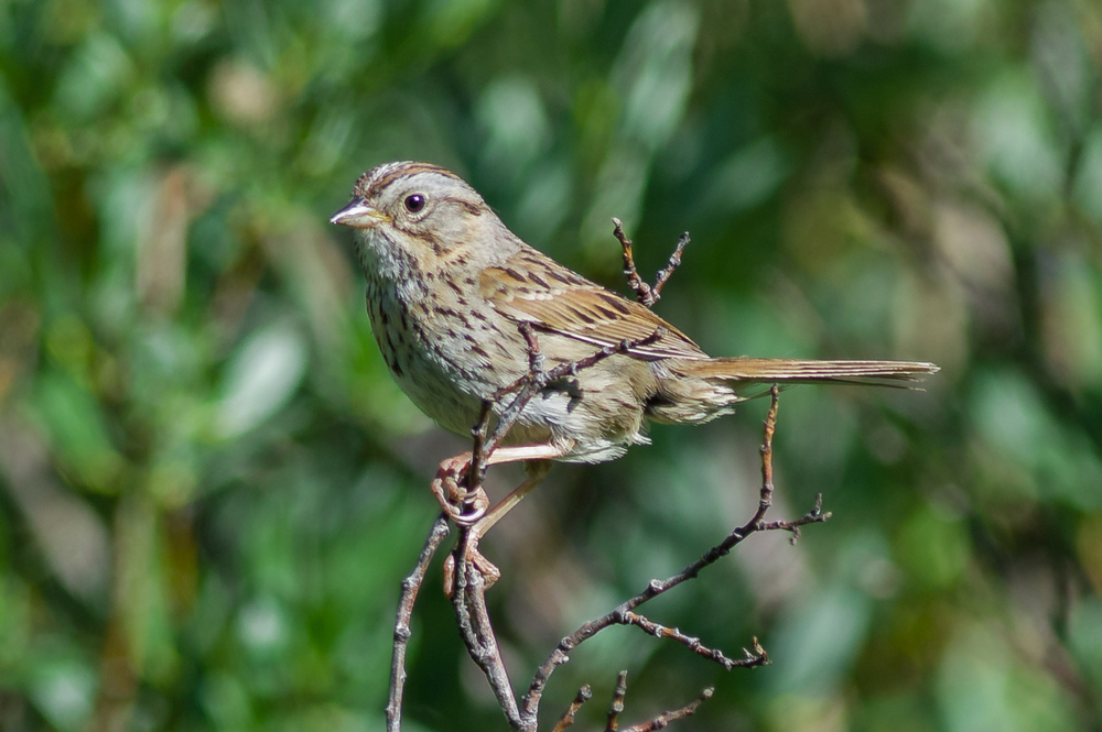 Lincoln's Sparrow (Melospiza lincolnii)  Trail to Lamoille Lake, ELK (NV)