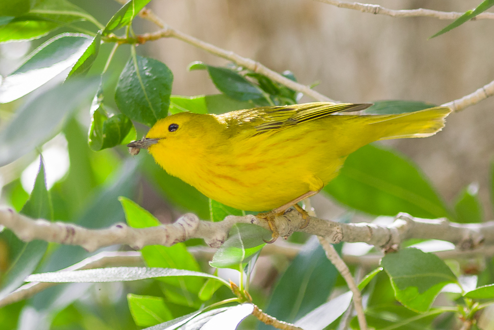 Yellow Warbler (Setophaga petechia)  Thomas Canyon CG, ELK (NV)