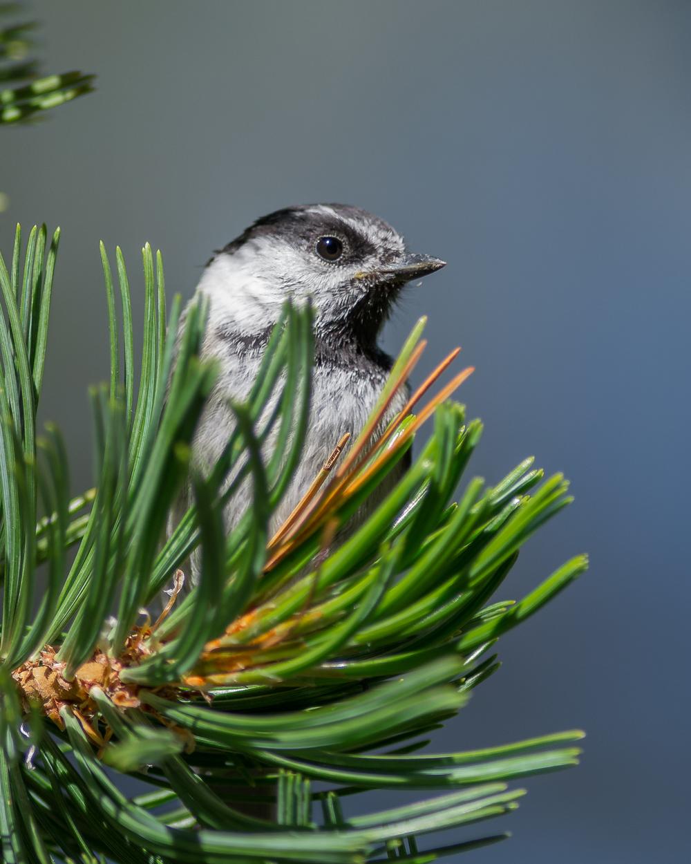 Mountain Chickadee, juvenile (Poecile gambeli)