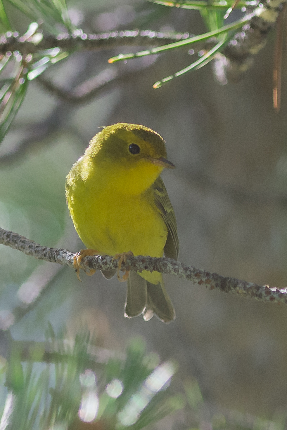 Wilson's Warbler, juvenile (Cardellina pusilla)