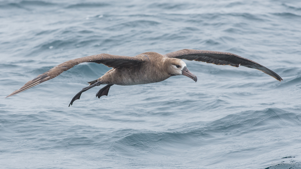 Photo of the Week 37:   Black-footed Albatross (Phoebastria nigripes) off the continental shelf  EQ: D7200, 300mm f/2.8   Taken: 8-14-2016 at 12:31   Settings: 450 mm (35mm eqiv), 1/1600s, f/5.6, ISO450, +1/3EV         Conditions: Fog