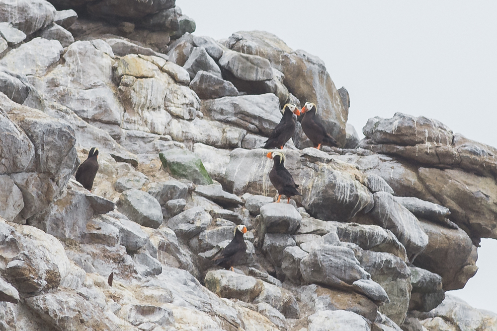 Tufted Puffin (Fratercula cirrhata) on SE Farallon Island