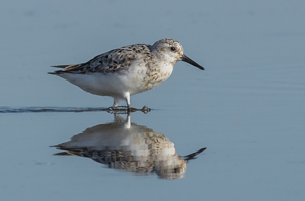 Photo of the Week 39:  Sanderling (Calidris alba) Pyramid Lake Delta, WAS (NV)  EQ: D7200, 300mm f/2.8   Taken: 8-17-2016 at 8:16a   Settings: 450 mm (35mm eqiv), 1/1600s, f/5.6, ISO320, +1/3EV         Conditions: Sunny