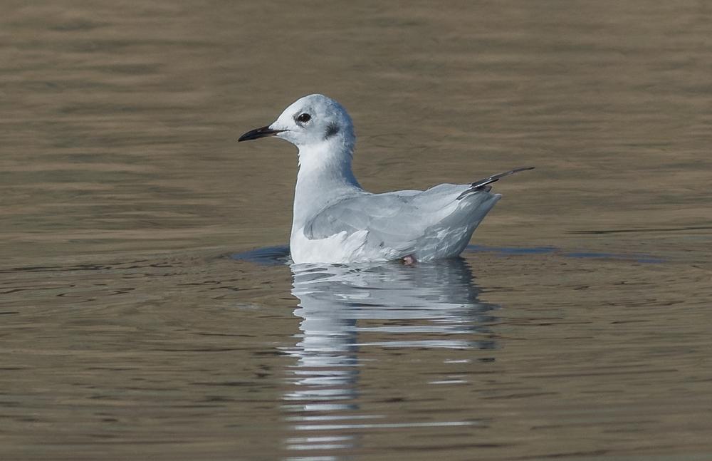 Bonaparte's Gull (Chroicocephalus philadelphia)   Settings: 450 mm (eqiv), 1/1600s, f/5.6, ISO360, +1/3EV