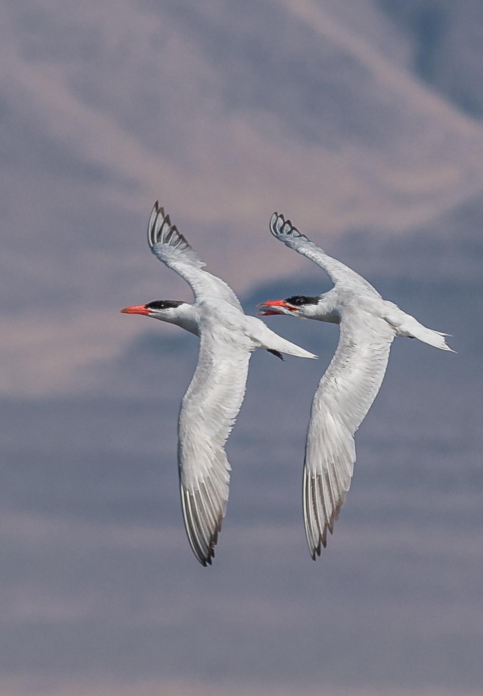 Caspian Terns pair in Flight   Settings: 450 mm (eqiv), 1/1600s, f/5.6, ISO280, +1/3EV