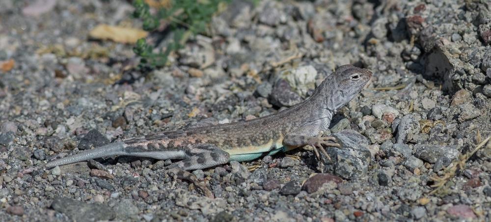 Zebra-tailed Lizard (Callisaurus draconoides)   Settings: 450 mm (eqiv), 1/1600s, f/5.6, ISO640, +1/3EV