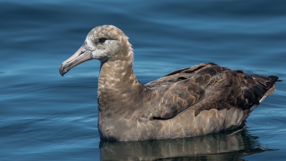 Black-footed Albatross (Phoebastria nigripes) Settings: 750 mm (eqiv), 1/2000s, f/5.6, ISO400, +1/3EV (12:58)