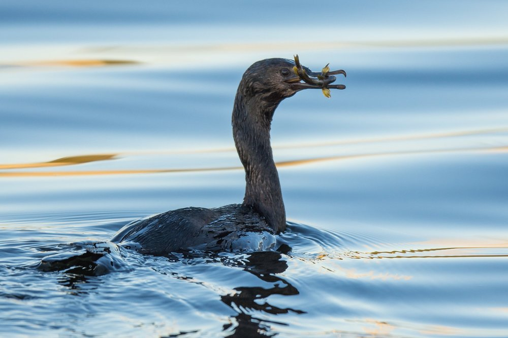 Pelagic Cormorant (Phalacrocorax pelagicus) Settings: 750 mm (eqiv), 1/640s, f/4, ISO200, +1/3EV (7:30a)