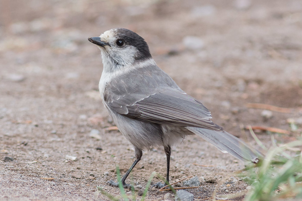 Photo of the Week 41:   Gray Jay (Perisoreus canadensis) - Crater Lake NP , Klamath Co. (OR)  EQ: D7200, 300mm f/2.8   Taken: 10-1-2016 at 13:08   Settings: 450 mm (35mm eqiv), 1/1000s, f/3.5, ISO500, +1/3EV         Conditions: Foggy light drizzle