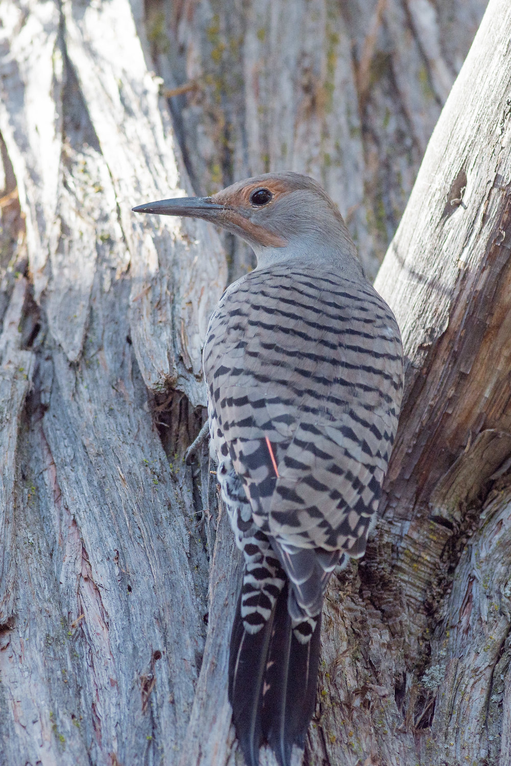 Northern Flicker, Red-shafted (Colaptes auratus) - Sawyer Park, Deschutes Co. (OR)  EQ: D7200, 300mm f/2.8   Taken: 9-30-2016 at 9:59   Settings: 450 mm (35mm eqiv), 1/1250s, f/4.5, ISO250, +1/3EV         Conditions: Shady/Sunny