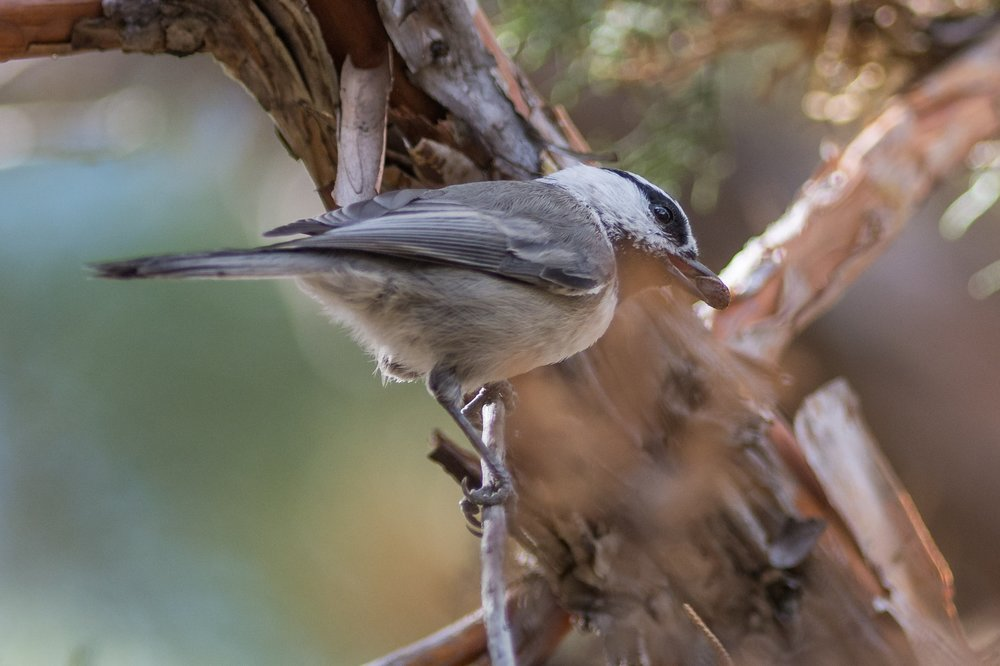 Mountain Chickadee (Poecile gambeli) - Sawyer Park, Deschutes Co. (OR)  EQ: D7200, 300mm f/2.8   Taken: 9-30-2016 at 11:19   Settings: 450 mm (35mm eqiv), 1/800s, f/2.8, ISO250, +1/3EV         Conditions: Shady/Sunny