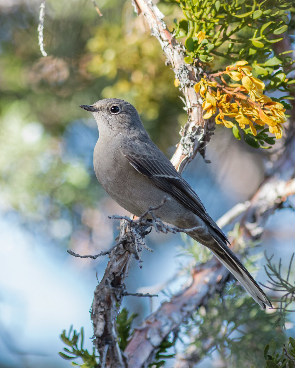 Townsend's Solitaire (Myadestes townsendi) - Lava Beds NM, Siskiyou Co. (CA)  EQ: D7200, 300mm f/2.8   Taken: 10-1-2016 at 16:50   Settings: 450 mm (35mm eqiv), 1/1000s, f/3.5, ISO640, +1/3EV         Conditions: Shady/Sunny