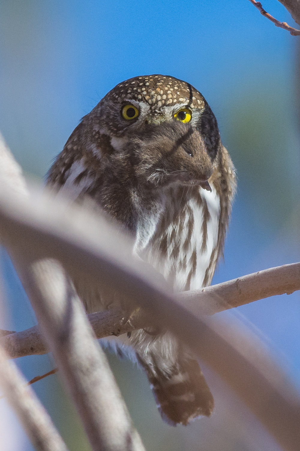 Photo of the Week 43:   Northern Pygmy Owl (Glaucidium gnoma) - Davis Creek Co. Park, Washoe Co. (NV)  EQ: D7200, 300mm f/2.8   Taken: 12-29-2016 at 15:16   Settings: 450 mm (35mm eqiv), 1/1000s, f/2.8, ISO110, +1/3EV         Conditions: Overcast
