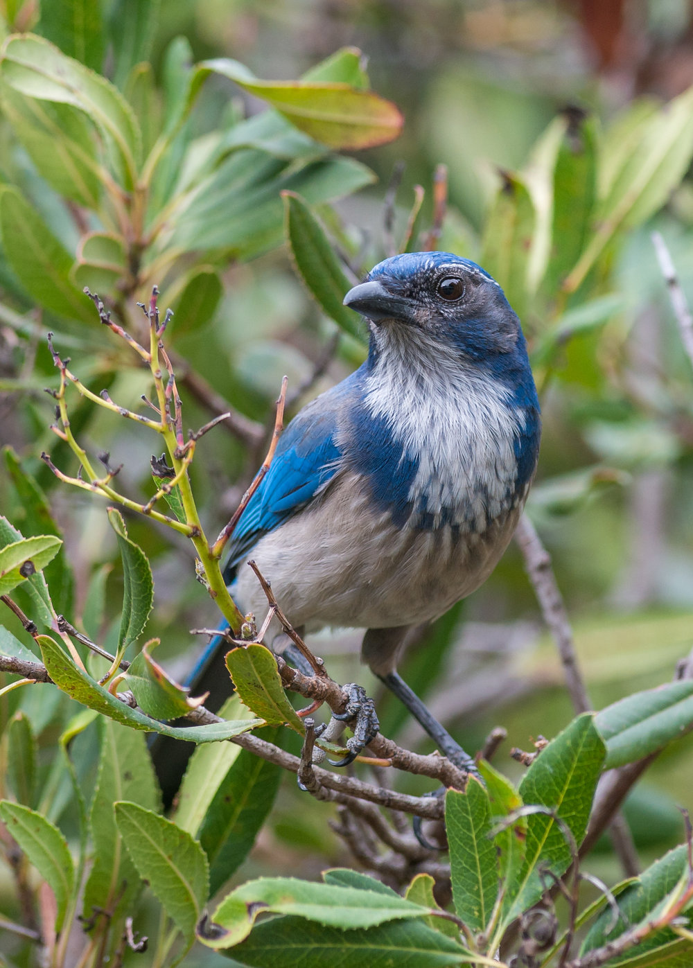 Photo of the Week 44:   California Scrub Jay (Aphelocoma californica) - Boulder Creek, SCZ (CA) EQ: D800, 300mm f/2.8   Taken: 10-17-2015 at 11:25 Settings: 300 mm (35mm eqiv), 1/800s, f/4.0, ISO320, +1/3EV         Conditions: Overcast