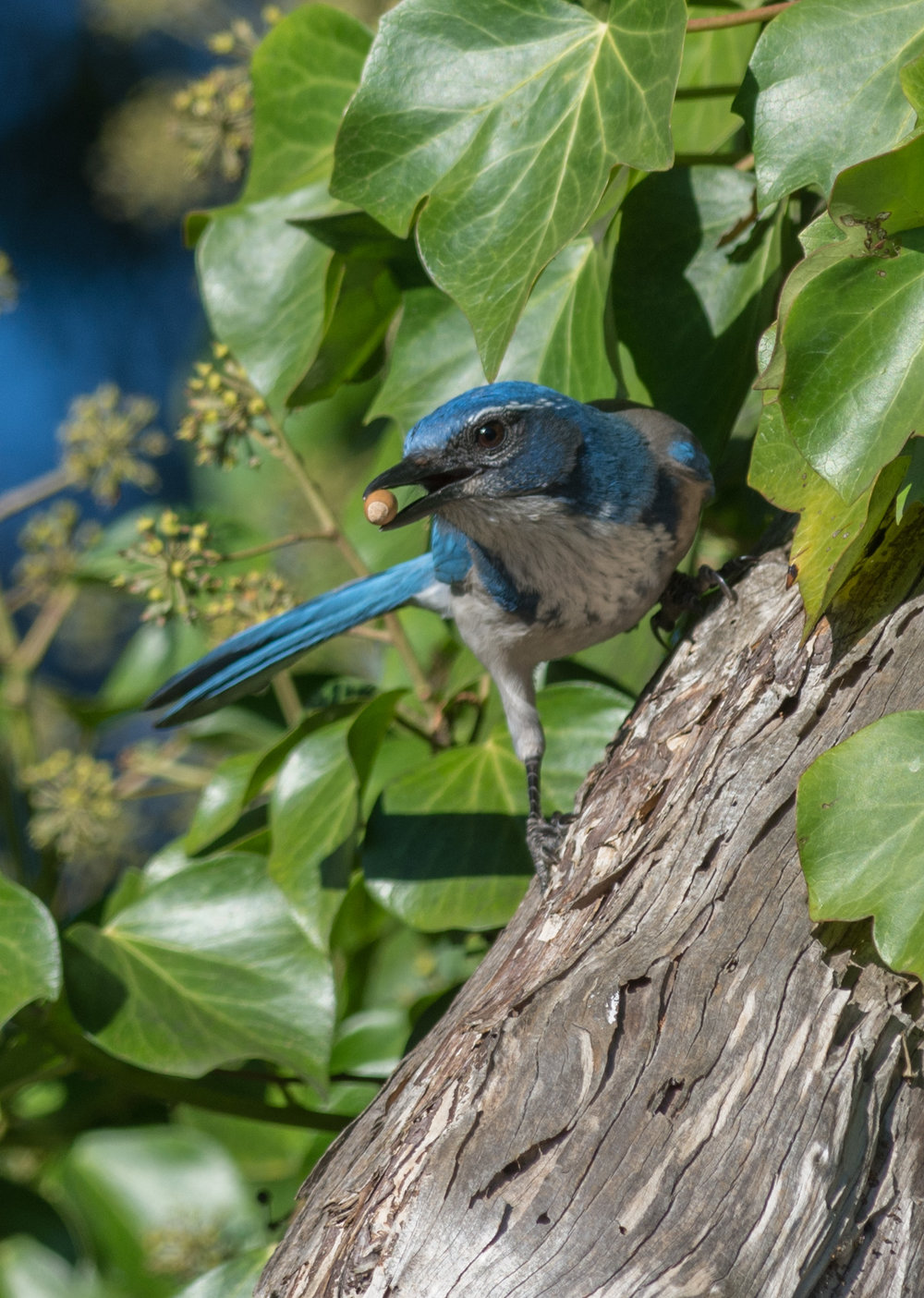 California Scrub Jay (Aphelocoma californica) - Arana Gulch, SCZ (CA)  EQ: D7200, 300mm f/2.8   Taken: 11-12-2015 at 9:47   Settings: 450 mm (35mm eqiv), 1/640s, f/5.0, ISO250, +1/3EV         Conditions: Sunny/shade