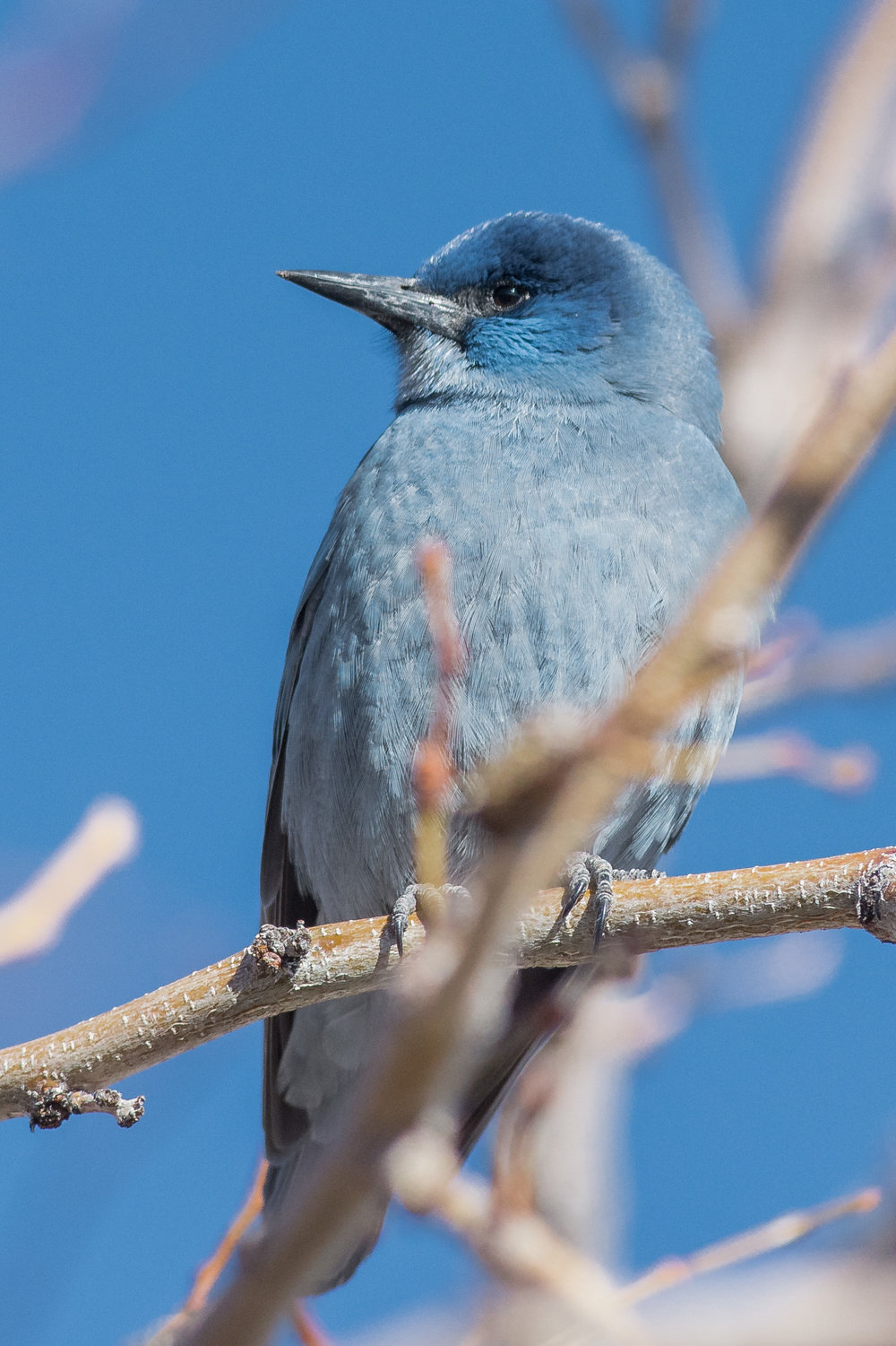Pinyon Jay (Gymnorhinus cyanocephalus) - Carson City CBC Area 2a, LYO (NV)  EQ: D7200, 300mm f/2.8   Taken: 12-18-2016 at 12:19   Settings: 450 mm (35mm eqiv), 1/3200s, f/4.5, ISO640, +1/3EV         Conditions: Sunny