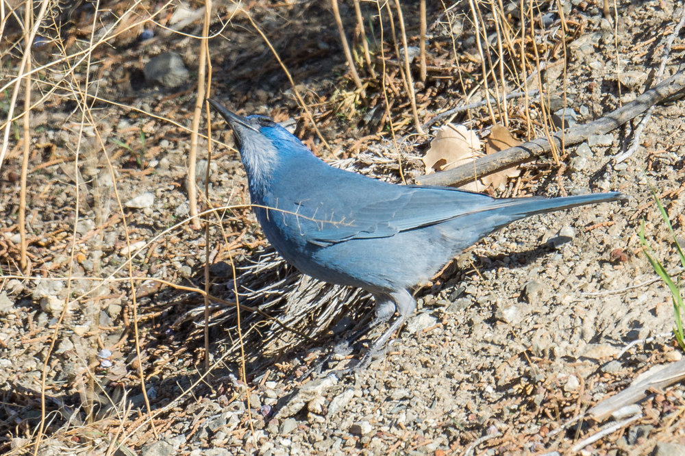 Pinyon Jay (Gymnorhinus cyanocephalus) - Silver Saddle Ranch, CAR (NV)  EQ: D7200, 500mm f/4.0   Taken: 11-10-2016 at 10:46   Settings: 750 mm (35mm eqiv), 1/1250s, f/5.6, ISO250, +1/3EV         Conditions: Sunny