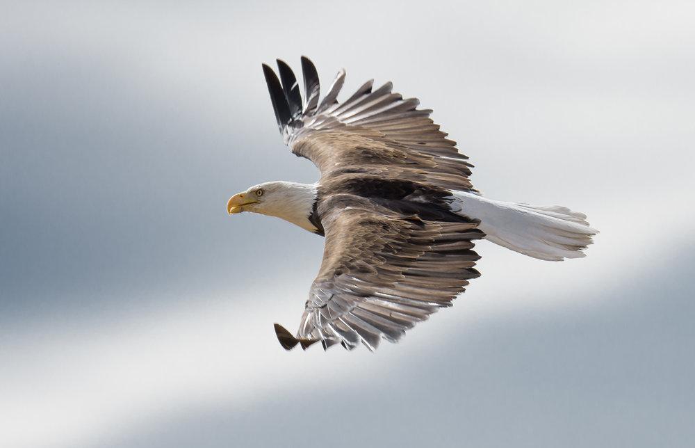 Bald Eagle Encounter
