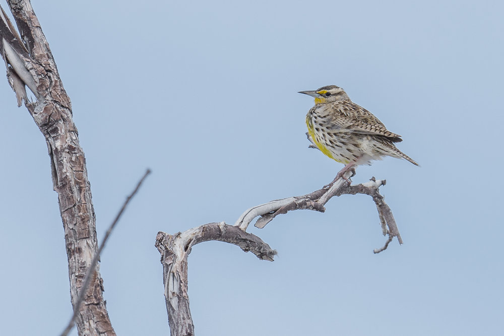 Photo Week 46: Western Meadowlark (Sturnella neglecta) EQ: D7200, 500mm f/4.0  Taken: 3-7-2017 at 12:21 Settings: 750 mm (35mm eqiv), 1/1600s, f/5.6, ISO320, +1/3EV  Conditions: Overcast