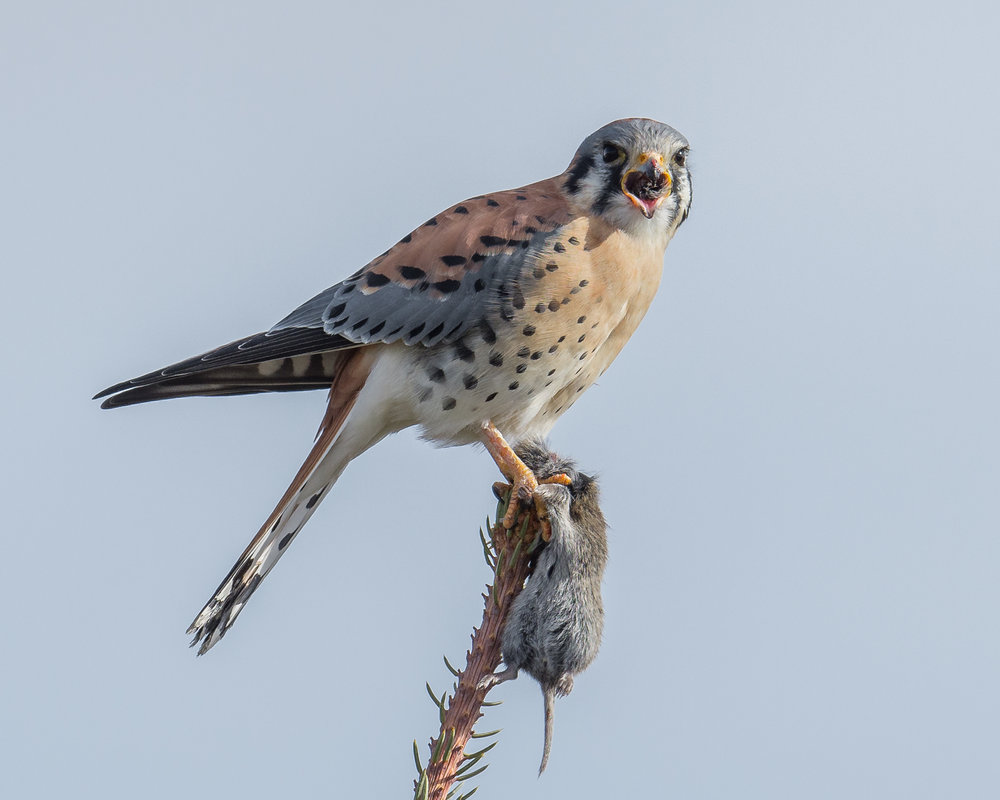 Kestrel with catch, Diamond Creek Pond, WAS (NV)