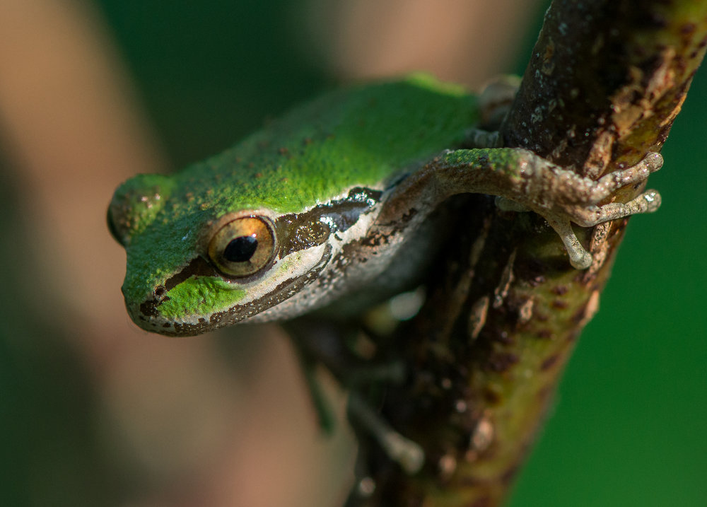 Pacific Chorus Frog (Pseudacris regilla), SCZ (CA)
