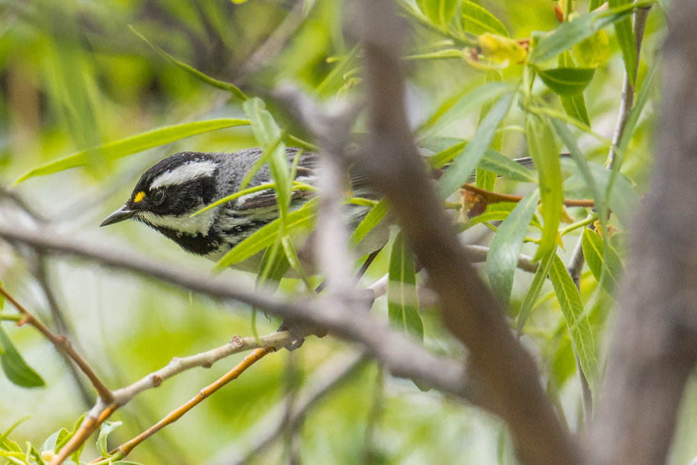 Black-throated Gray Warbler (Setophaga nigrescens) ettings: 750 mm (35mm eqiv), 1/1250s, f/5.6, ISO500, +1/3EV