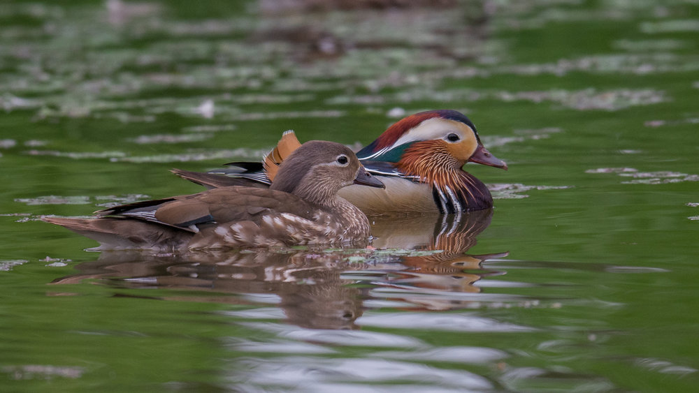 Featured Photo 49: Mandarin Duck (Aix galericulata): FAM Factory, Primorskiy kraj, Russia  EQ: D7200, 500mm f/4.0   Taken: 6-17-2017 at 10:30   Settings: 750mm (35mm eqiv), 1/1250s, f/4.0, ISO800, 1/3EV         Conditions: Shady