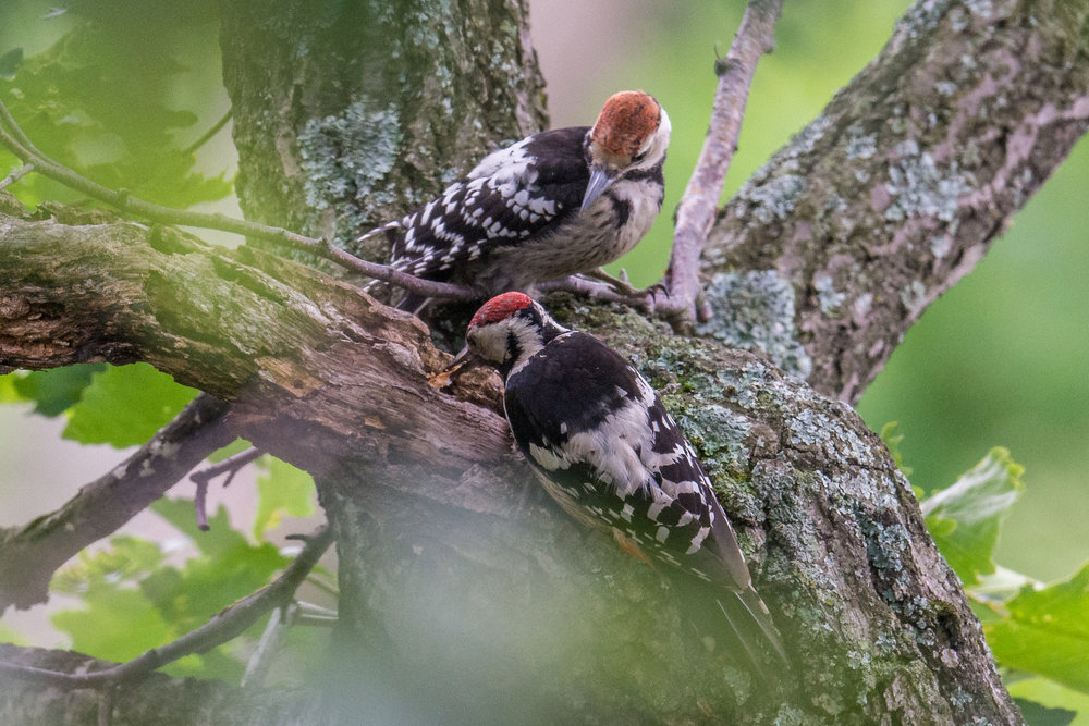 White-backed Woodpecker (Dendrocopos leucotos), Babushka Visit, Primorskiy kraj, Russia  EQ: D7200, 500mm f/4.0  Taken: 6-21-2017 at 10:53   Settings: 750mm, 1/800s, f/4.0, ISO800, 1/3EV  Conditions: Foggy