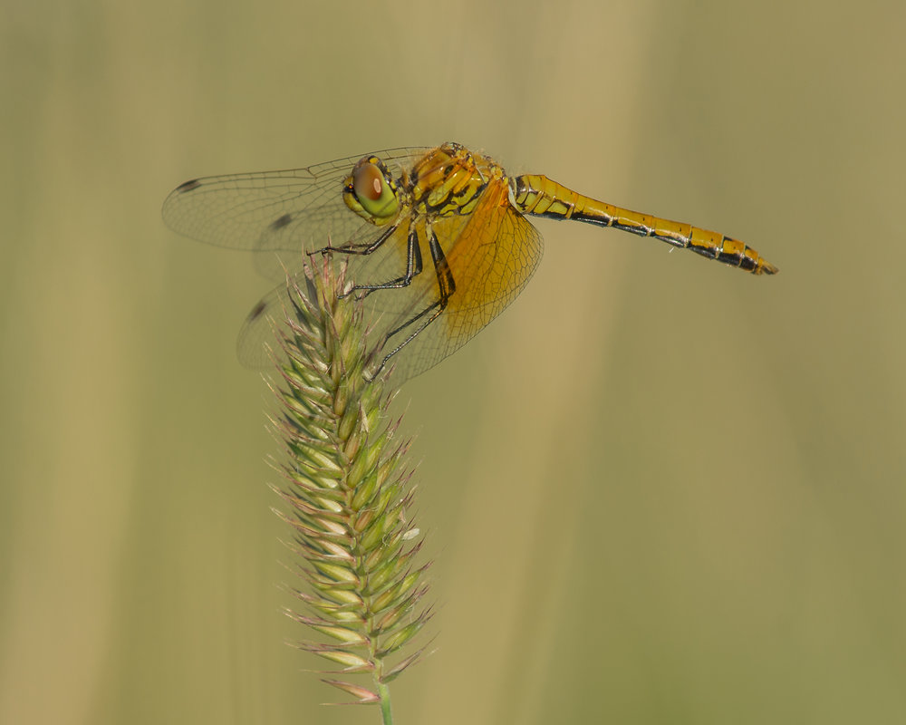 Band-winged Meadowhawk (Sympetrum semicinctum), Ruby Lake NWR, WHI (NV)