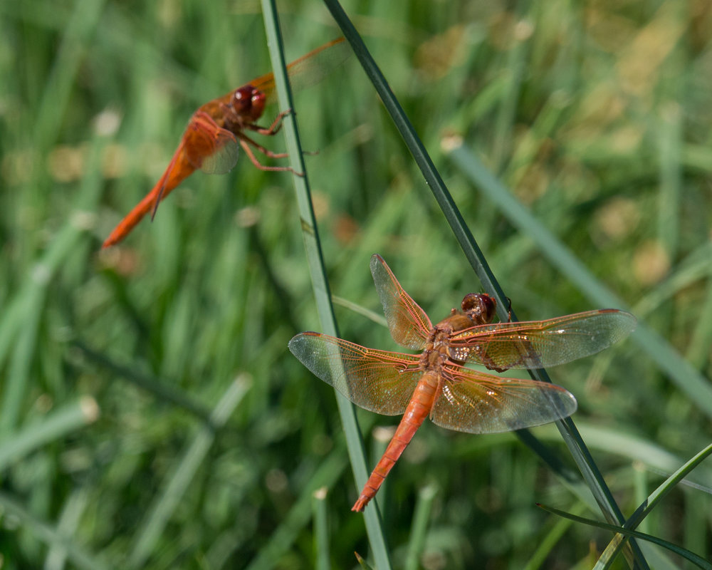 Band-winged Meadowhawk (Sympetrum semicinctum), Pyramid Lake, WAS (NV)