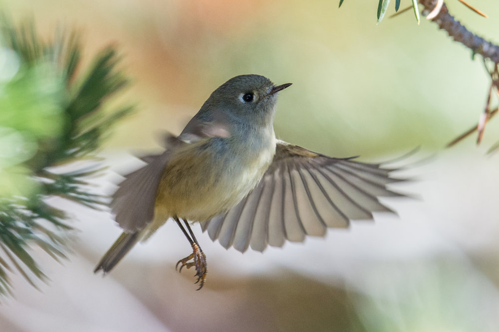 Ruby-crowned Kinglet (Regulus calendula), WAS (NV)