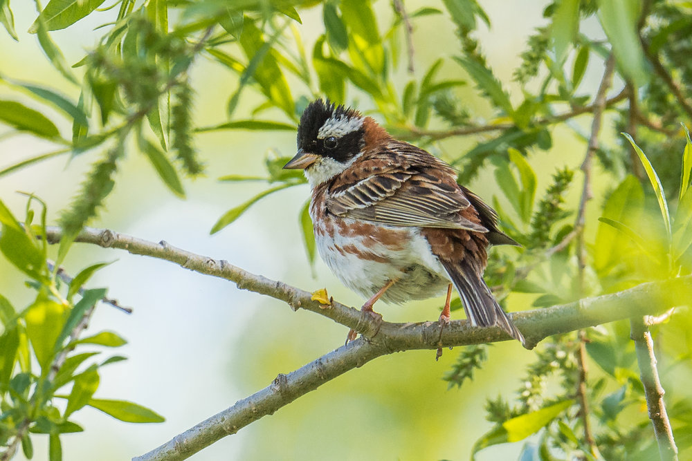 Rustic Bunting (Emberiza rustica), Choetor Area, KAM (RU)  EQ: D7200, 500mm f/4.0   Taken: 6-24-2017 at 17:29   Settings: 750mm (35mm eqiv), 1/1000s, f/4.5, ISO640, 1/3EV         Conditions: Shaddy