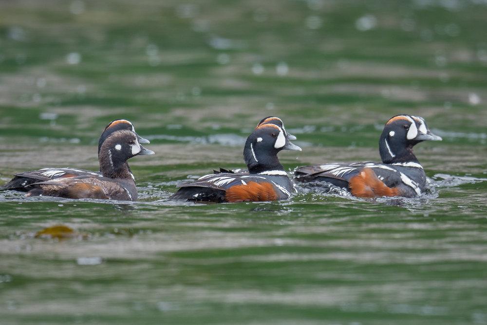 Harlequin Duck (Histrionicus histrionicus), Medney Is - Peschanaya Bay, KAM (RU)
